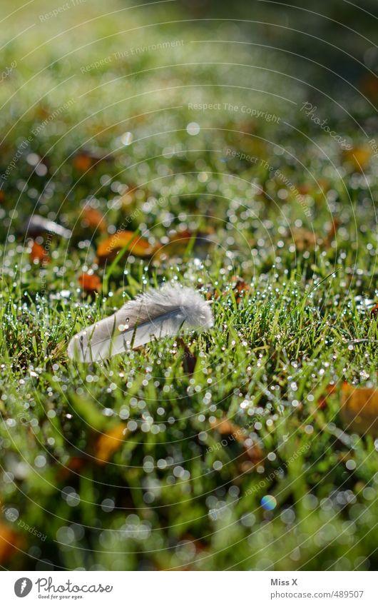 Morgentau Wassertropfen Regen Gras Wiese glänzend nass Feder leicht Sonnenlicht Tau Farbfoto Außenaufnahme Nahaufnahme Menschenleer Textfreiraum oben