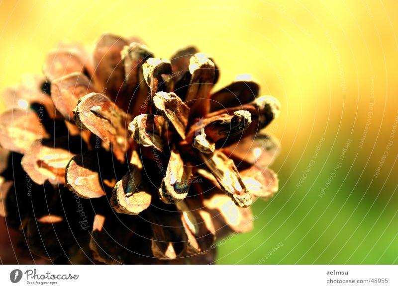 Kiefernzapfen Herbst Zapfen Natur herbstlich fallen 1 Schwache Tiefenschärfe Menschenleer Nahaufnahme