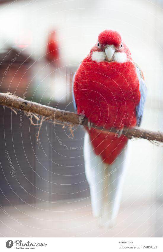 du roter Vogel Tier Zoo 1 Blick sitzen warten dick groß schön einzigartig blau Kanarienvogel Feder Käfig Vogelkäfig Ast Krallen Schnabel Baumrinde Farbfoto
