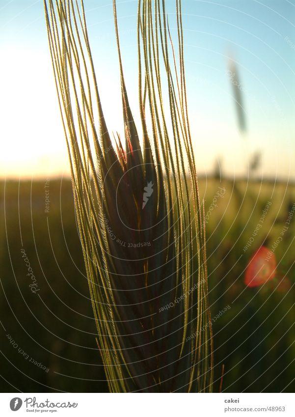 abendruh Natur Sommer Getreide Korn