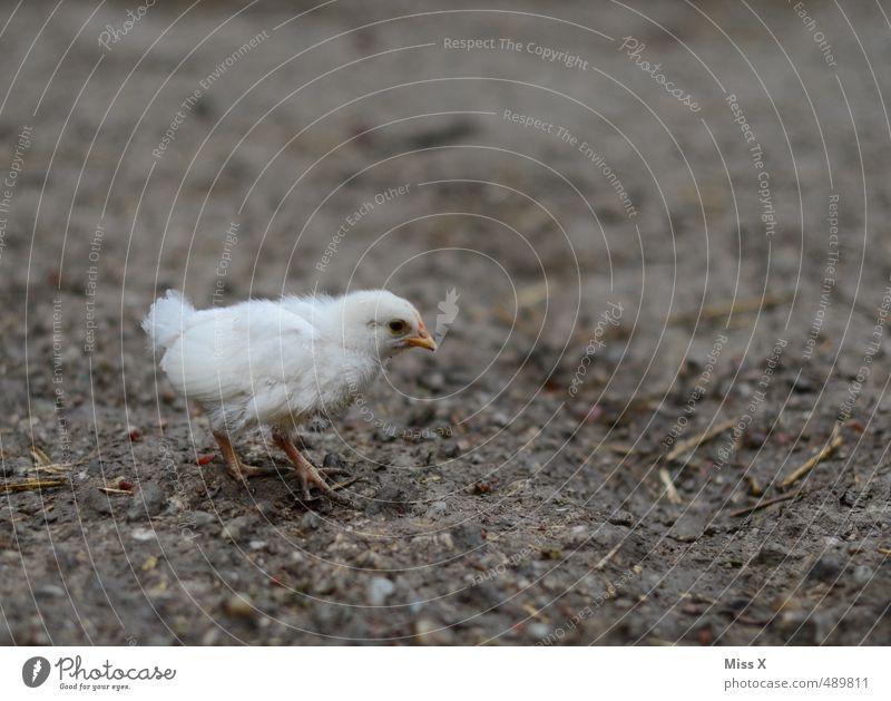 Mamaaaa???? Einsamkeit Tier Tierjunges klein Vogel Erde laufen einzeln niedlich Suche Bauernhof Tierzucht Haushuhn Küken Geflügel Freilandhaltung