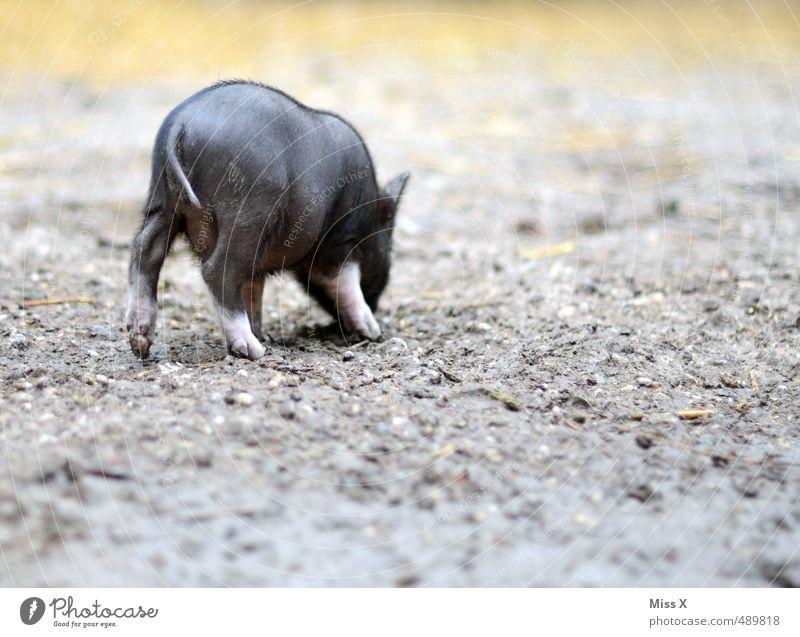 Rückansicht Tier Tierjunges klein Erde niedlich Bauernhof Haustier Geruch Fressen Biologische Landwirtschaft Nutztier Viehzucht Schwein Viehhaltung Ferkel Freilandhaltung