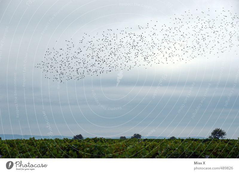 Schwarm Natur Landschaft Tier Himmel Wolken Sommer Herbst Wildtier Vogel Tiergruppe fliegen Schüchternheit Weinberg Vogelschwarm Star Zugvogel viele reisend