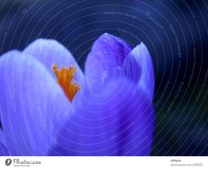 Frühblüher Natur weiß Blume blau Pflanze Sommer Blatt springen Blüte Frühling orange rosa zart Jahreszeiten Stempel