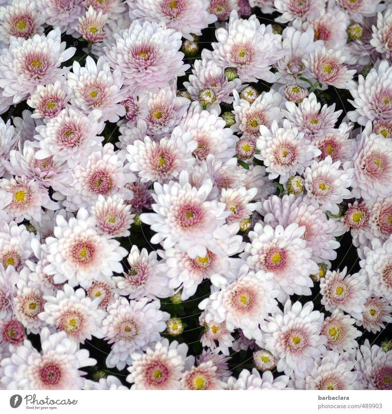 Herbstblumen Blume Blüte Nutzpflanze Chrysantheme Blühend ästhetisch frisch hell schön viele rosa Stimmung Liebe Romantik Farbe Gefühle Lebensfreude Natur