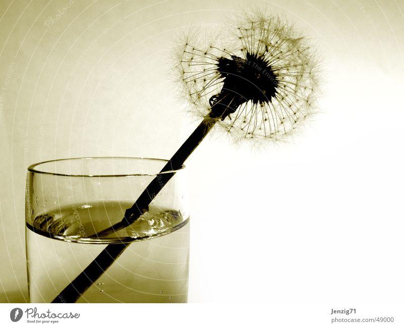 Vergänglichkeit. Blume Herbst Traurigkeit Glas Trauer Ende Löwenzahn Samen Wasserglas