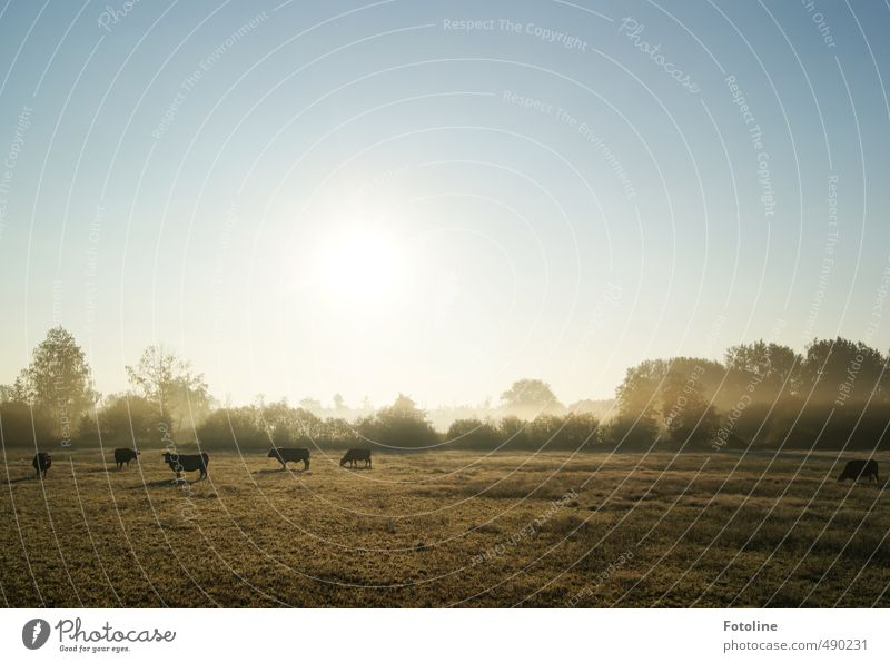 Guten Morgen! Umwelt Natur Landschaft Pflanze Tier Himmel Wolkenloser Himmel Sonne Sonnenlicht Herbst Baum Sträucher Wiese Nutztier Kuh Herde hell kalt