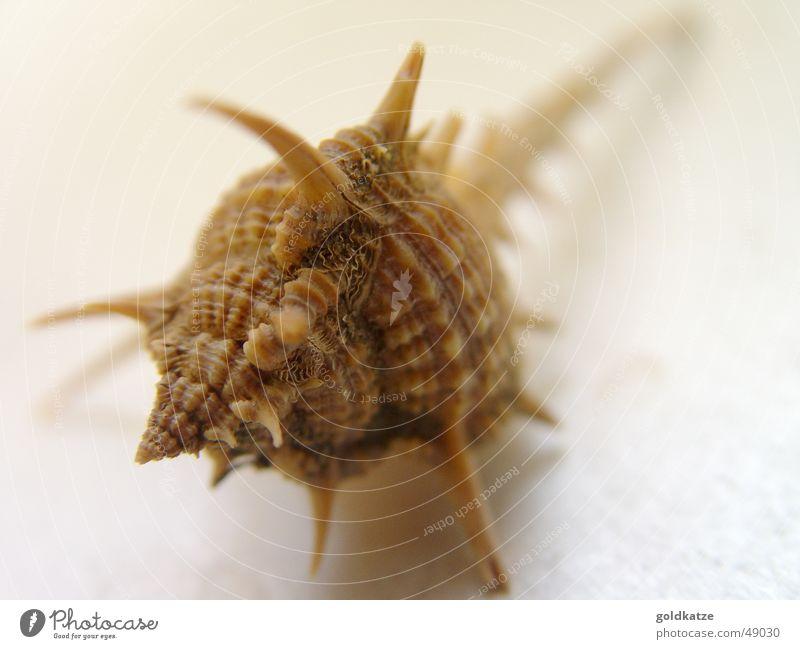 stachlig Wasser Meer Sommer Strand Tier braun Sicherheit Dekoration & Verzierung Spitze Muschel Hülle Stachel Dorn Defensive Schneckenhaus