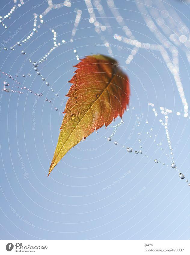 hängengeblieben Pflanze Wassertropfen Himmel Herbst Schönes Wetter Blatt frisch orange rot Gelassenheit ruhig Natur Spinnennetz Tau Farbfoto Außenaufnahme