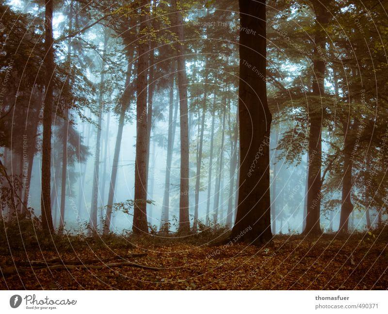 Rotkäppchenwald Erde Luft Herbst Nebel Baum Sträucher Blatt Wildpflanze Wald braun Stimmung Romantik geheimnisvoll Laubwald Gedeckte Farben Morgendämmerung
