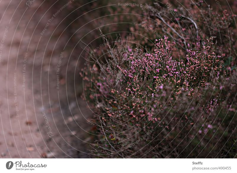 Faszination Heide heimisch nordisch Heidestille nordische Romantik nordische Wildpflanzen Heideromantik heimische Wildpflanzen poetisch altmodisch magisch