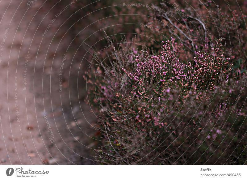 Faszination Heide Natur Pflanze Farbe Landschaft ruhig Umwelt Herbst Wege & Pfade Stimmung Idylle Sträucher Blühend Romantik geheimnisvoll altmodisch