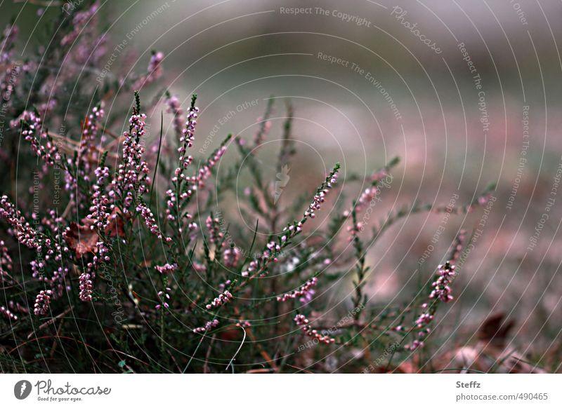 Faszination Heide III Natur Farbe Pflanze ruhig Umwelt Herbst Stimmung Sträucher Wachstum Wandel & Veränderung Blühend Romantik geheimnisvoll violett Herbstlaub