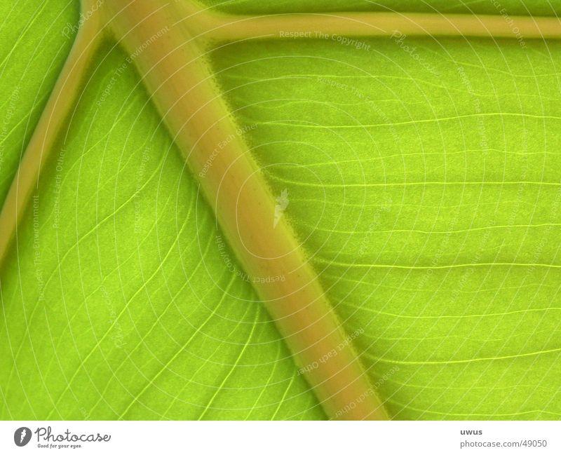 Bananenblatt Blatt grün Gefäße chlorophyl Gefängniszelle