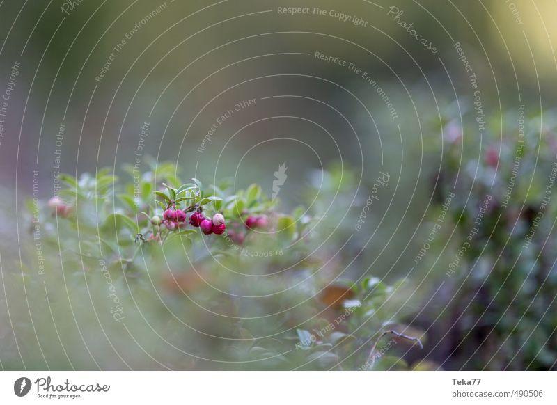 Preiselbeeren Natur Pflanze rot Landschaft Umwelt authentisch Sträucher ästhetisch Nutzpflanze