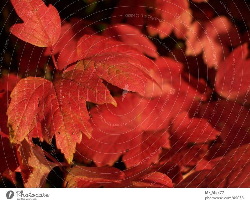 Herbstimpressionen Natur rot Blatt Sträucher