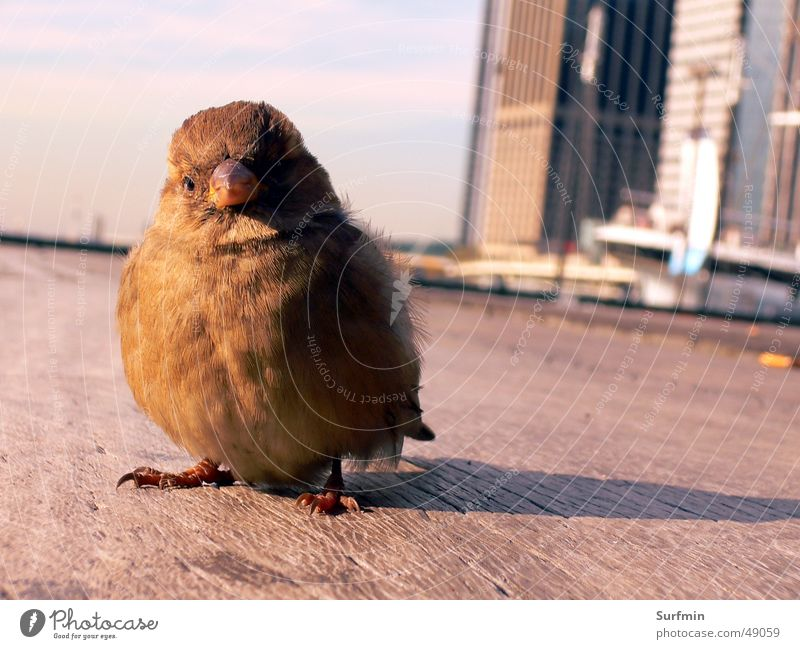 Urlaubsspatz Vogel USA Steg Spatz