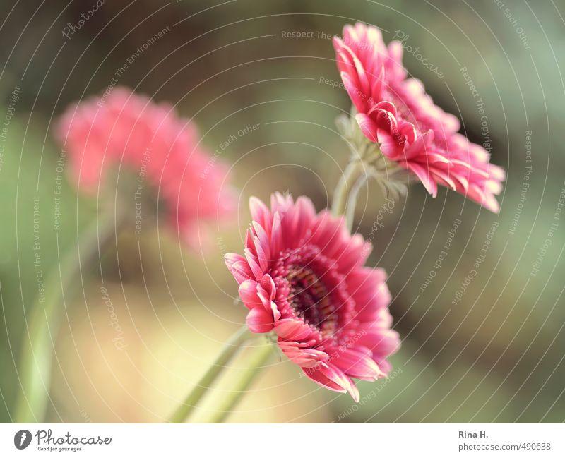 Gerbera Blüte Blühend rosa rot 3 Farbfoto Außenaufnahme Schwache Tiefenschärfe