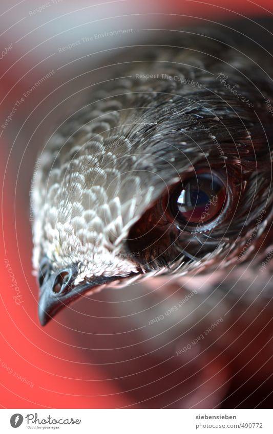 Mauersegler Tier Wildtier Vogel Tiergesicht 1 Tierjunges beobachten fliegen Blick außergewöhnlich frei Neugier wild grau rot Geborgenheit Tierliebe schön Stolz