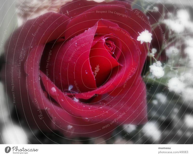 only for you Blume rot Blatt Blüte Feste & Feiern Wassertropfen Rose Blumenstrauß