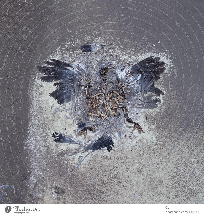 taube Totes Tier Vogel Taube Tiergesicht Flügel 1 gruselig grau Tod Vergänglichkeit Feder Skelett Bodenbelag Gedeckte Farben Außenaufnahme Menschenleer