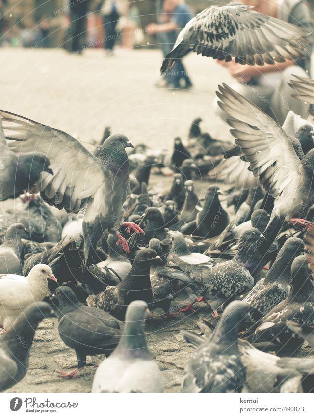 Tier | Grossgruppe Nutztier Vogel Taube Tiergruppe Schwarm fliegen Fressen sitzen Flügel Farbfoto Gedeckte Farben Außenaufnahme Nahaufnahme Tierporträt