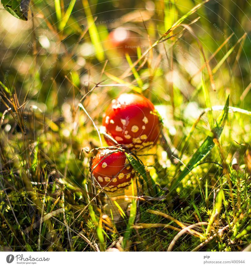 giftzwerge Natur Pflanze rot Wald Herbst Gras klein Schönes Wetter paarweise Moos Pilz Gift Unterholz Fliegenpilz Giftpflanze ungenießbar