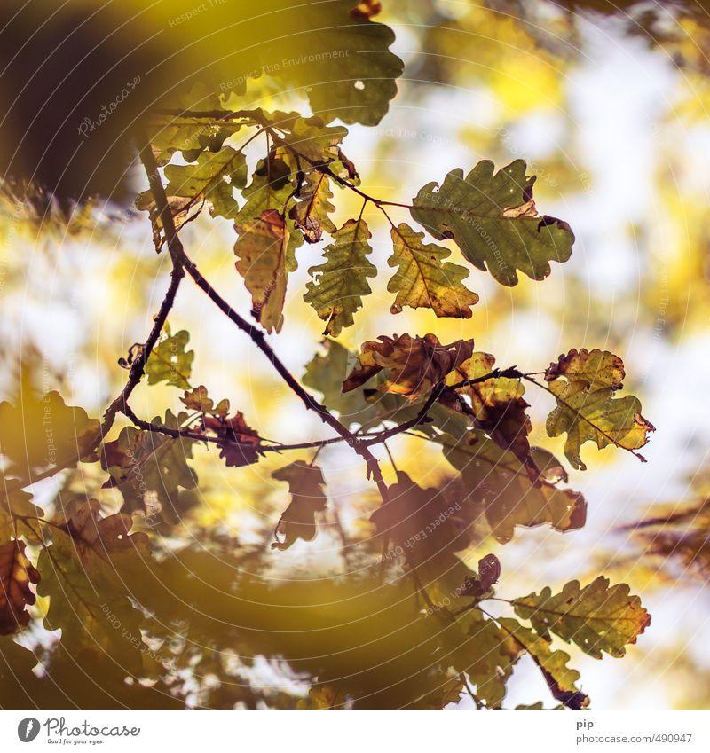 auf herbst geeicht Umwelt Natur Pflanze Herbst Schönes Wetter Baum Ast Blatt Eiche Eichenblatt Wald braun gelb gold herbstlich vertrocknet welk färben Unschärfe