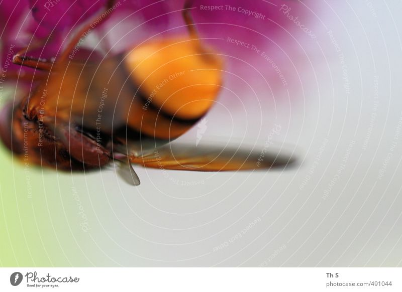 Biene 1 Tier ästhetisch natürlich Leben Farbe Natur abstrakt wild Frühling Farbfoto mehrfarbig Außenaufnahme Textfreiraum unten Tag