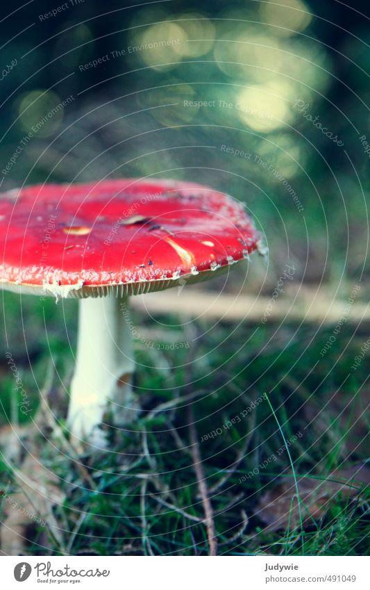Klassiker Natur Pflanze grün Farbe rot Wald Umwelt Herbst Gras Gesundheit Sträucher Ausflug Romantik Kitsch Moos Pilz