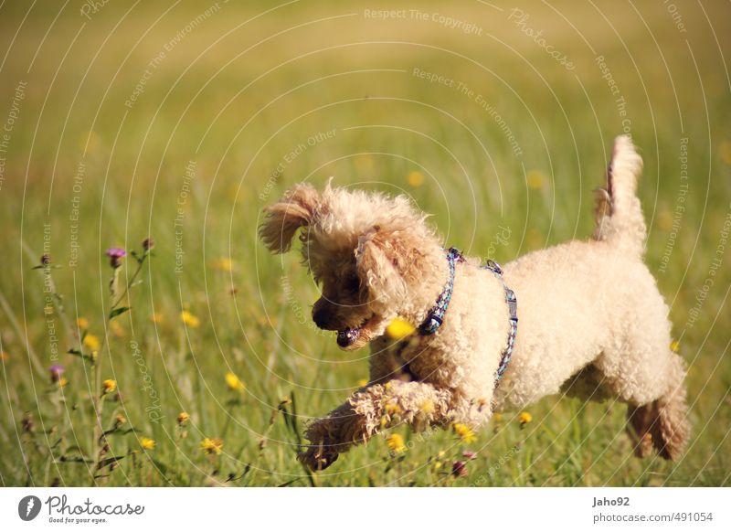 Springinsfeld Spielen Sport Umwelt Natur Landschaft Frühling Sommer Herbst Schönes Wetter Pflanze Gras Wiese Tier Haustier Hund Pudel Bewegung fangen Jagd