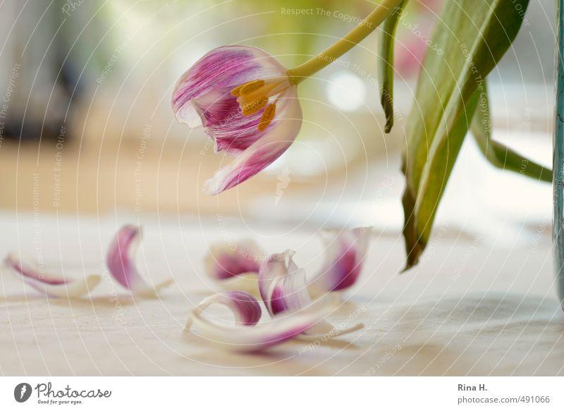 TulpenBlütenBlätter Blatt Gefühle Vergänglichkeit Schmerz verblüht