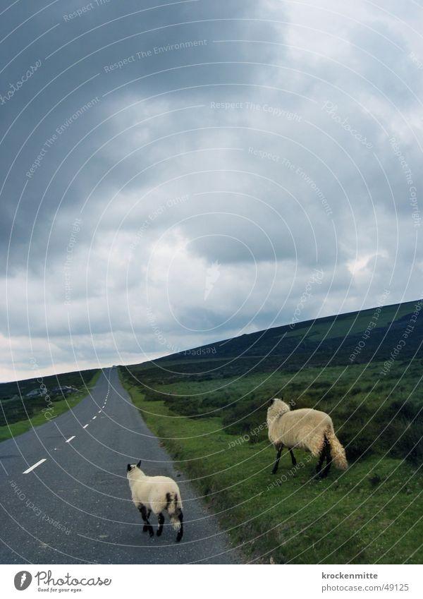 verlorene schafe Schaf Wolken Lamm Wiese England Moor 2 Straßenrand wandern verlieren Gegenverkehr Fell Horizont Regen Asphalt Tier Linksverkehr Geisterfahrer