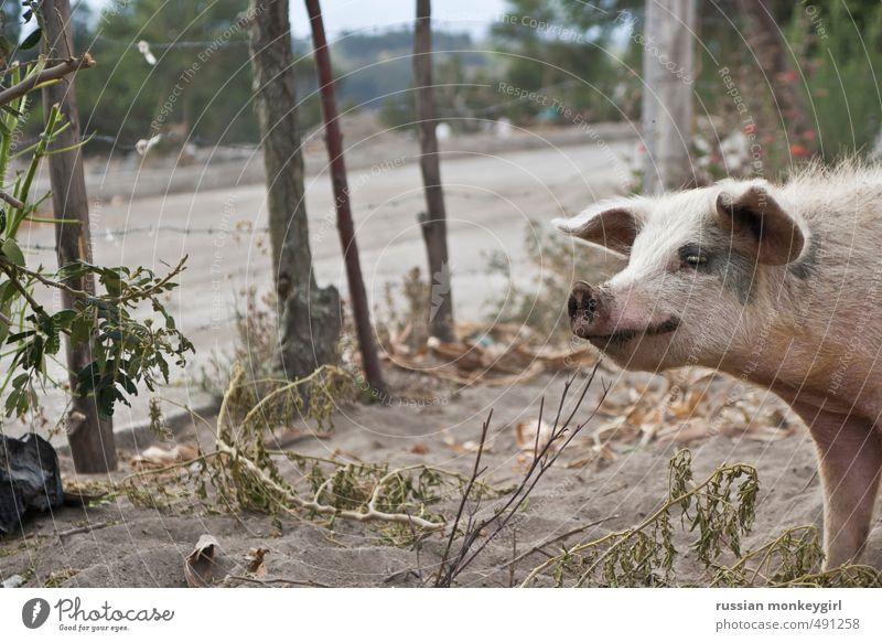Schweinebestand Natur Sand Tier Nutztier 1 Glück lecker natürlich Originalität klug wild Farbfoto Außenaufnahme Menschenleer Zentralperspektive Wegsehen