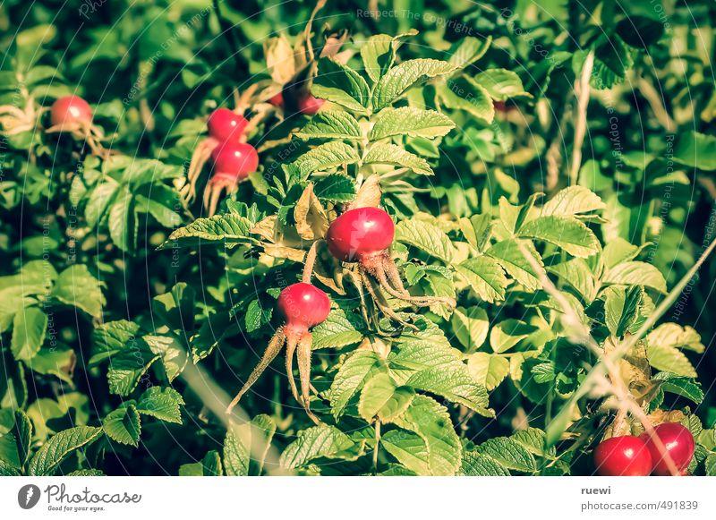 Hagebutten... Natur Pflanze grün Sommer Farbe rot Umwelt Gesundheit Lifestyle Lebensmittel Frucht Wachstum frisch Ernährung Sträucher Wellness