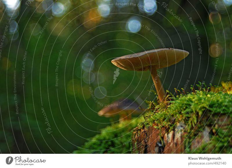 Morgenandacht Pilz Umwelt Natur Herbst Schönes Wetter Moos Grünpflanze Wald blau braun gelb gold grau grün Blätterpilz Pilzhut Stengel Farbfoto Außenaufnahme