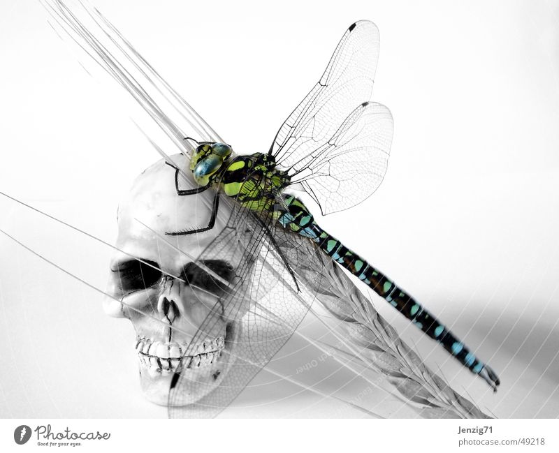 Leben und Tod. Insekt Korn Ähren Schädel Libelle Paddel Mosaikjungfer