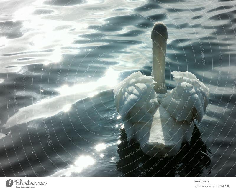 Schwanensee? Wasser Sonne See Wellen Feder