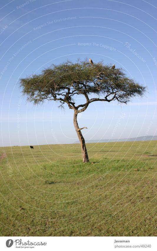 Africa Bambata Baum Tier Afrika Wüste Steppe Kenia