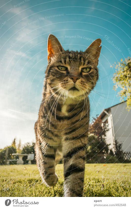 Meine Stadt, mein Bezirk, mein Viertel, meine Gegend... Katze Himmel Tier Wiese Bewegung lustig gehen Haustier Stolz Entschlossenheit stolzieren