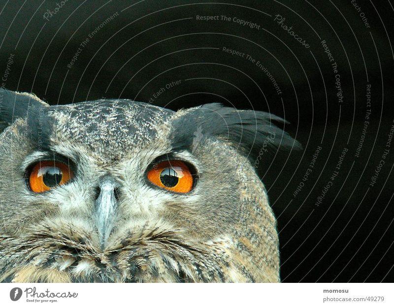 Ein-Blick Auge Vogel Feder Klebstoff Greifvogel
