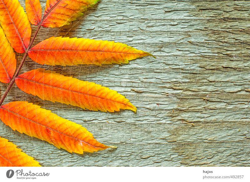 Blätter fallen Natur Pflanze schön rot Blatt Umwelt gelb Herbst Hintergrundbild Holz Stimmung hell glänzend Dekoration & Verzierung Textfreiraum Romantik