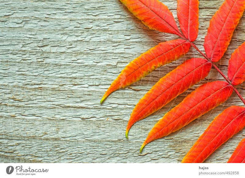 Blätter fallen Natur schön Pflanze Erholung rot ruhig Blatt Umwelt Herbst Holz natürlich hell Hintergrundbild glänzend Dekoration & Verzierung ästhetisch