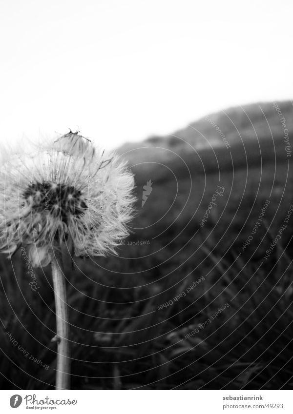 Pusteblume im November Löwenzahn Wiese grau schwarz weiß Stengel Blume kalt
