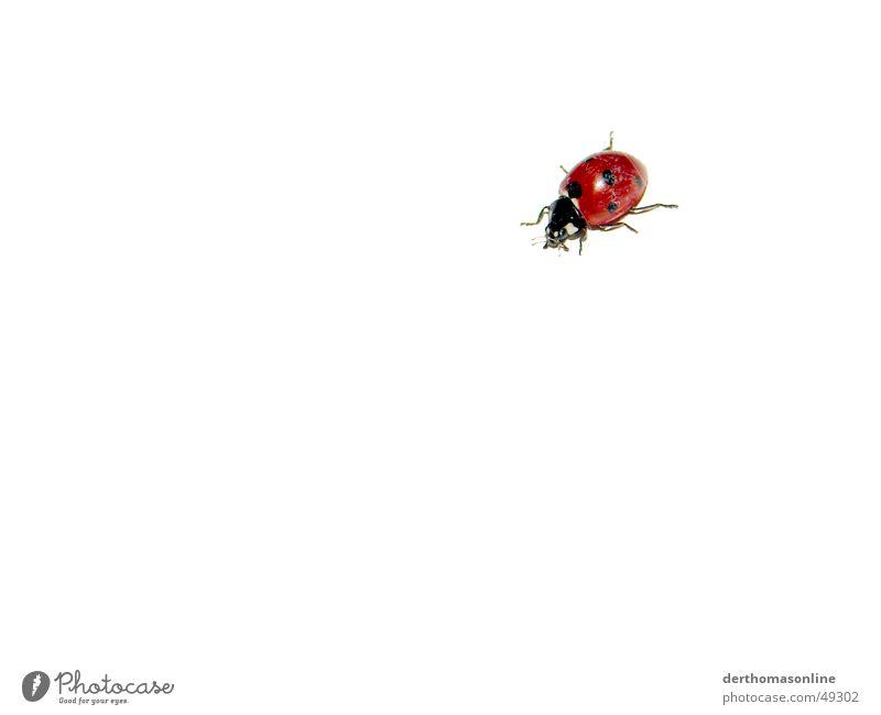 Kleines Biest weiß schön rot Sommer schwarz klein springen Hintergrundbild fliegen Freisteller süß einfach Insekt Käfer Marienkäfer flach