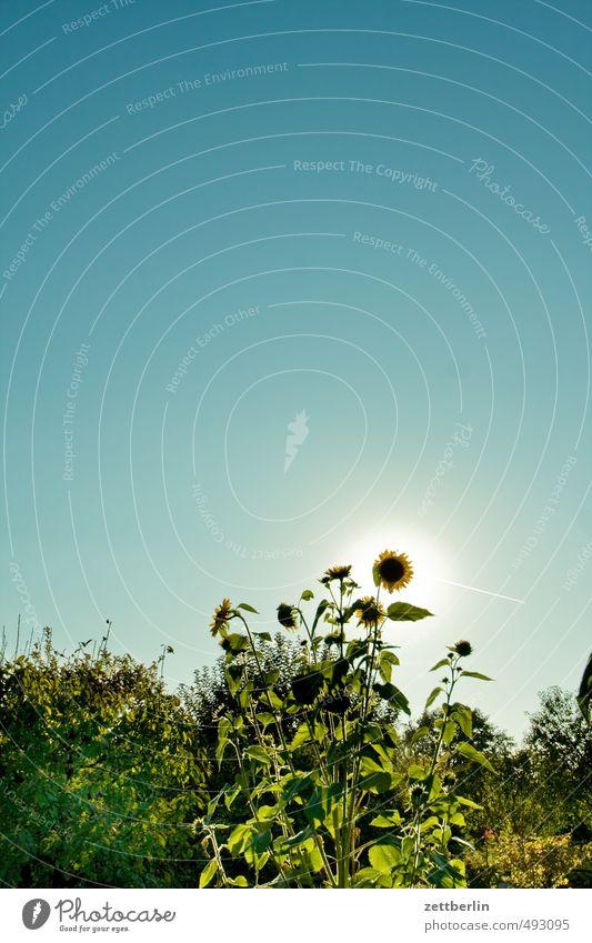 Sonnenblume unterm Textfreiraum Garten Umwelt Natur Himmel Wolkenloser Himmel Herbst Klima Klimawandel Wetter Schönes Wetter Pflanze Blume Blüte Park Gefühle