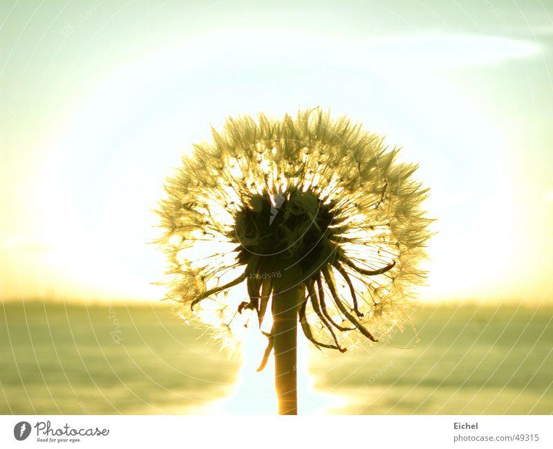 Sonnenpuste Himmel Meer Blume Ferne Herbst Horizont Löwenzahn Samen