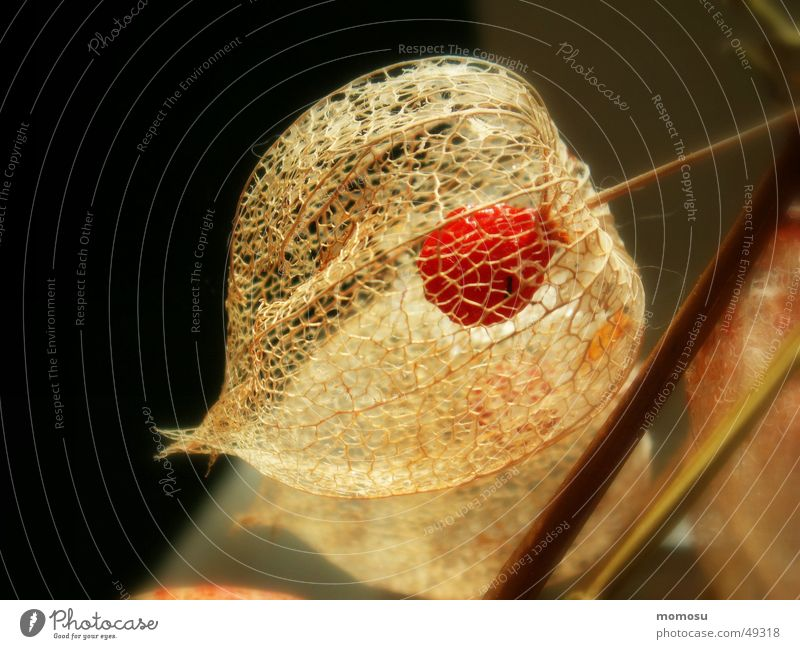 wenn das Innere sichtbar wird Herbst Samen Gitter Blume Lampionblume