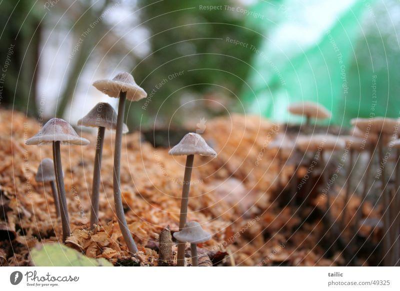 Plizhausen Hut dünn klein grau Gift feucht Wald grün Herbst Außenaufnahme Unschärfe Pilz mushroom Stengel späne Bodenbelag