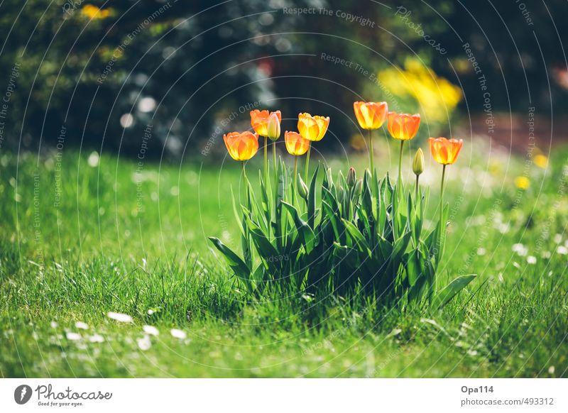 Tulpen Umwelt Natur Pflanze Tier Sommer Schönes Wetter Blüte Grünpflanze Garten Wiese Blühend Duft grün orange rot Erholung Ferien & Urlaub & Reisen Wachstum